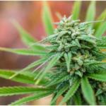 ООН вывела каннабис из списка опасных наркотиков